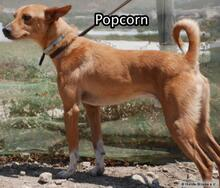 POPCORN, Hund, Podenco-Mix in Spanien - Bild 3