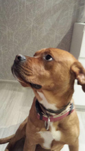 BOXA, Hund, Boxer-Mix in Willingshausen - Bild 9
