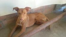 TEDDY, Hund, Podenco in Spanien - Bild 1