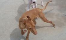 TEDDY, Hund, Podenco in Spanien - Bild 4