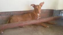 TEDDY, Hund, Podenco in Spanien - Bild 7
