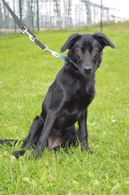 ROSA-LUXEMBURG, Hund, Labrador Retriever-Mix in Chemnitz - Bild 1