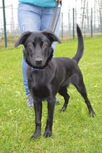 ROSA-LUXEMBURG, Hund, Labrador Retriever-Mix in Chemnitz - Bild 3