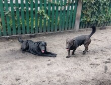 SCOOBY, Hund, Dackel-Mix in Polen - Bild 5