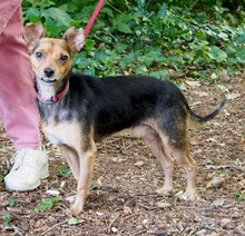 SERGIO, Hund, Terrier-Mix in Hannover - Bild 2