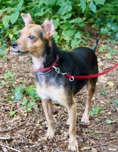 SERGIO, Hund, Terrier-Mix in Hannover - Bild 3