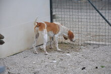 FRED, Hund, Segugio Italiano-Mix in Italien - Bild 3