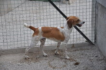 FRED, Hund, Segugio Italiano-Mix in Italien - Bild 4