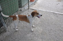FRED, Hund, Segugio Italiano-Mix in Italien - Bild 6