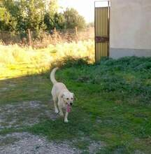 MELODY, Hund, Labrador-Mix in Italien - Bild 2