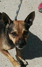 BEETHOVEN, Hund, Chihuahua-Mix in Spanien - Bild 1