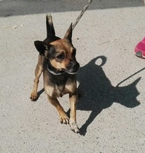 BEETHOVEN, Hund, Chihuahua-Mix in Spanien - Bild 2