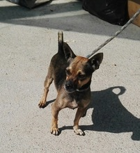 BEETHOVEN, Hund, Chihuahua-Mix in Spanien - Bild 6
