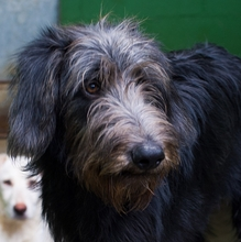 BUBU, Hund, Irish Wolfhound-Mix in Spanien - Bild 1