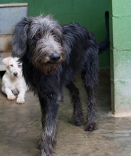 BUBU, Hund, Irish Wolfhound-Mix in Spanien - Bild 2
