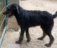 BUBU, Hund, Irish Wolfhound-Mix in Spanien - Bild 4