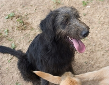BUBU, Hund, Irish Wolfhound-Mix in Spanien - Bild 5