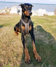 JANGO, Hund, Dobermann in Kempten - Bild 1