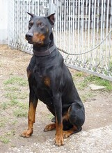 JANGO, Hund, Dobermann in Kempten - Bild 2