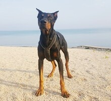 JANGO, Hund, Dobermann in Kempten - Bild 3
