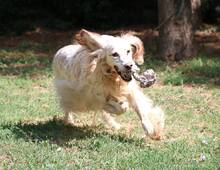 TULLIO, Hund, English Setter in Italien - Bild 2