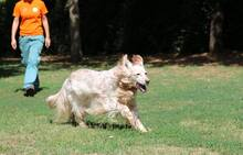 TULLIO, Hund, English Setter in Italien - Bild 3