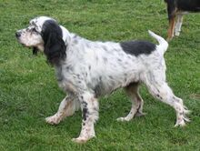 LINDA, Hund, English Setter in Filderstadt - Bild 1