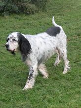 LINDA, Hund, English Setter in Filderstadt - Bild 2