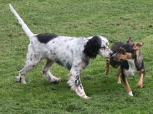 LINDA, Hund, English Setter in Filderstadt - Bild 3
