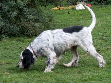 LINDA, Hund, English Setter in Filderstadt - Bild 5