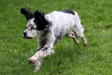 LINDA, Hund, English Setter in Filderstadt - Bild 6