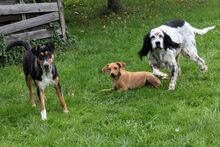 LINDA, Hund, English Setter in Filderstadt - Bild 8