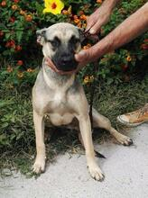 SPIKE, Hund, Malinois-Mix in Spanien - Bild 1
