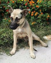SPIKE, Hund, Malinois-Mix in Spanien - Bild 2