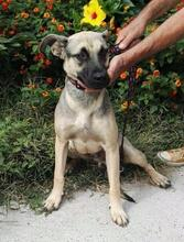 SPIKE, Hund, Malinois-Mix in Spanien - Bild 3