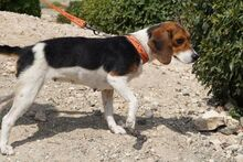 XEENA, Hund, Beagle-Mix in Bremen - Bild 4