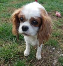 XEWO, Hund, King Charles Spaniel-Mix in Slowakische Republik - Bild 1