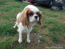 XEWO, Hund, King Charles Spaniel-Mix in Slowakische Republik - Bild 2