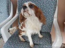 XEWO, Hund, King Charles Spaniel-Mix in Slowakische Republik - Bild 3