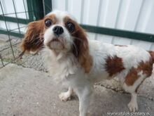 XEWO, Hund, King Charles Spaniel-Mix in Slowakische Republik - Bild 5