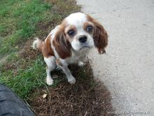 XEWA, Hund, Cavalier King Charles Spaniel-Mix in Slowakische Republik - Bild 1