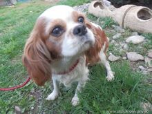 XEWA, Hund, Cavalier King Charles Spaniel-Mix in Slowakische Republik - Bild 2