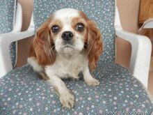 XEWA, Hund, Cavalier King Charles Spaniel-Mix in Slowakische Republik - Bild 3