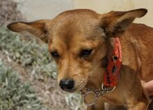 STEWARD, Hund, Chihuahua-Mix in Zypern - Bild 3