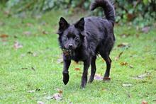 FRIDOLIN, Hund, Volpino Italiano-Mix in Wuppertal - Bild 2