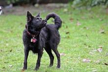 FRIDOLIN, Hund, Volpino Italiano-Mix in Wuppertal - Bild 3