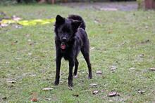 FRIDOLIN, Hund, Volpino Italiano-Mix in Wuppertal - Bild 6