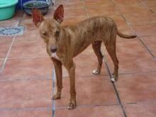 JAMES, Hund, Podenco-Mix in Spanien - Bild 2
