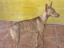 JAMES, Hund, Podenco-Mix in Spanien - Bild 4
