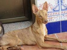 JAMES, Hund, Podenco-Mix in Spanien - Bild 5